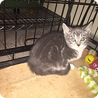 Adopt A Pet :: Teenie - Forest Hills, NY