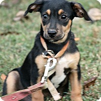 Black and Tan Coonhound Mix Puppy for adoption in Brattleboro, Vermont - Ollie