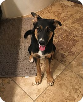 Shepherd (Unknown Type) Mix Dog for adoption in Portland, Maine - Case (Cat Friendly)