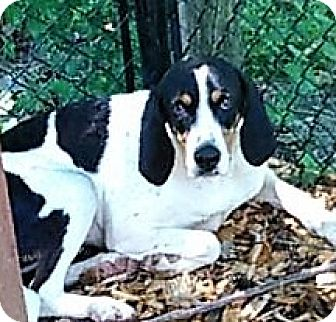 Treeing Walker Coonhound Dog for adoption in bath, Maine - EMMA