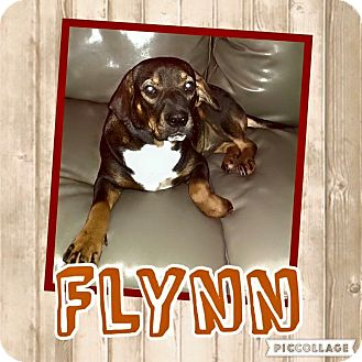 Shar Pei/Bloodhound Mix Dog for adoption in Enid, Oklahoma - Flynn