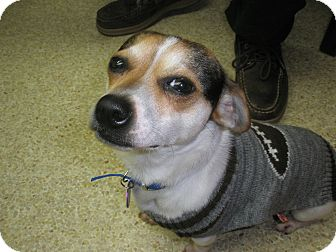 Chihuahua/Beagle Mix Dog for adoption in McLoud, Oklahoma - Ricky