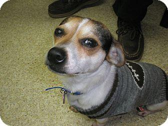 Chihuahua/Beagle Mix Dog for adoption in McLoud, Oklahoma - Ricky
