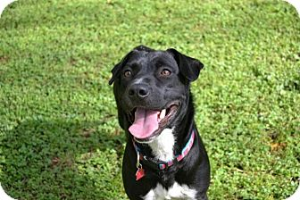 Labrador Retriever/Pit Bull Terrier Mix Dog for adoption in Austin, Texas - Darcy