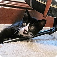 Adopt A Pet :: Preston - Byron Center, MI