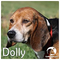 Adopt A Pet :: Dolly - Novi, MI