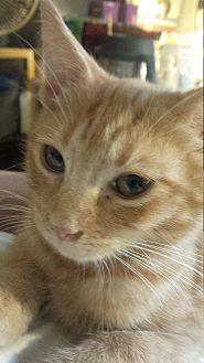 Domestic Shorthair Kitten for adoption in Seneca, South Carolina - Kayla