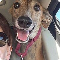 Adopt A Pet :: Babe B Blue - Tucson, AZ