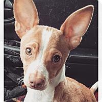 Adopt A Pet :: Geno - West Allis, WI