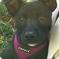 Adopt A Pet :: Lucy-ADOPTION PENDING - Boulder, CO
