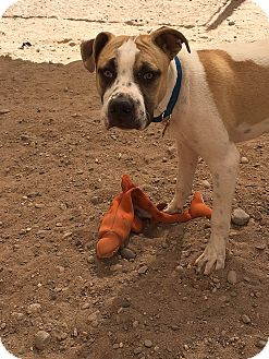 Boxer/Terrier (Unknown Type, Medium) Mix Puppy for adoption in Albuquerque, New Mexico - Falcor