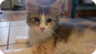 Domestic Longhair Kitten for adoption in Columbus, Ohio - Guinevere