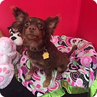 Papillon/Chihuahua Mix Dog for adoption in Phoenix, Arizona - earnest