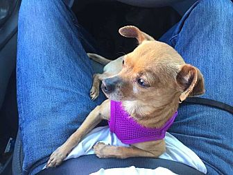 Chihuahua/Pug Mix Dog for adoption in Lakewood, California - Nancy