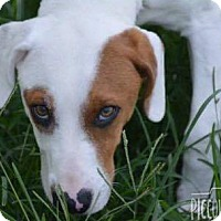 Hound (Unknown Type)/Terrier (Unknown Type, Medium) Mix Dog for adoption in Shelter Island, New York - Ace