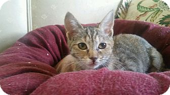 Domestic Shorthair Kitten for adoption in Media, Pennsylvania - Morlee