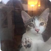 Calico Cat for adoption in Glendale, Arizona - Coopie