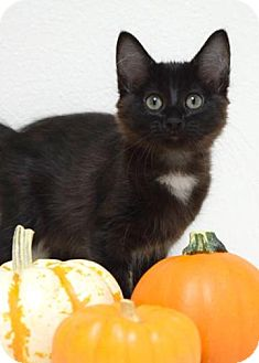 Domestic Mediumhair Kitten for adoption in Dublin, California - Diggs