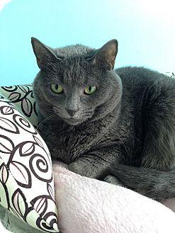 Domestic Shorthair Cat for adoption in Fairfax, Virginia - Nicky