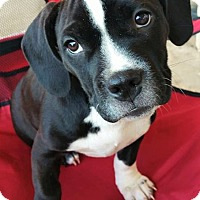 Adopt A Pet :: Troi - Wichita Falls, TX