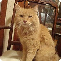 Domestic Longhair Cat for adoption in Rochester, Minnesota - Honeycomb