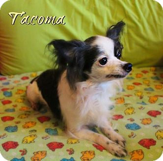 Papillon Dog for adoption in Benton, Louisiana - Tacoma