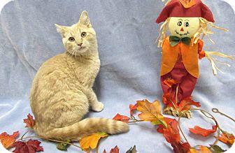 Domestic Shorthair Kitten for adoption in Lexington, North Carolina - NOAH
