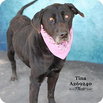Labrador Retriever Dog for adoption in Conroe, Texas - TINA