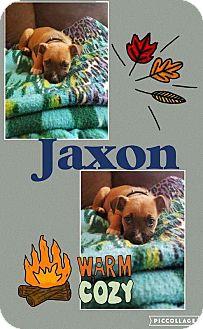 Terrier (Unknown Type, Medium)/Cattle Dog Mix Puppy for adoption in Tomah, Wisconsin - Jaxon