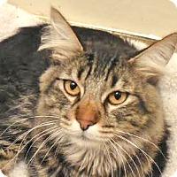Adopt A Pet :: Manxer - Davis, CA