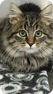 Domestic Longhair Kitten for adoption in Sauk Rapids, Minnesota - Nickel