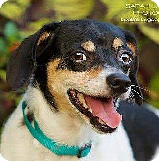 Dachshund/Jack Russell Terrier Mix Dog for adoption in Cincinnati, Ohio - Taco $14