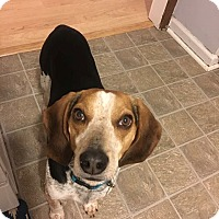 Adopt A Pet :: Scout - Knoxville, TN