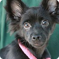 Adopt A Pet :: Onyx - Canoga Park, CA