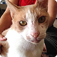 Domestic Shorthair Cat for adoption in Yukon, Oklahoma - Ozzy