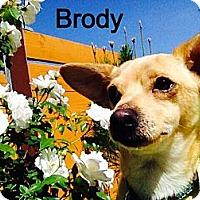 Adopt A Pet :: Brody - Burbank, CA