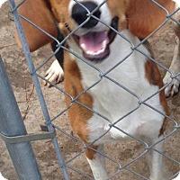 Adopt A Pet :: Charlee-LOCAL - Lebanon, ME