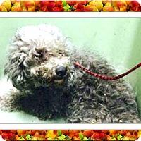 Adopt A Pet :: Beatrice - N. TX - Tulsa, OK