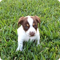 Adopt A Pet :: Toffee - Homestead, FL