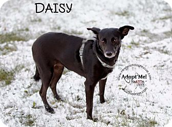 Chihuahua Mix Dog for adoption in La Crosse, Wisconsin - Daisy