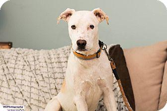 Labrador Retriever/Australian Shepherd Mix Dog for adoption in Seattle, Washington - Sawyer