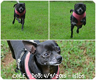 Chihuahua Dog for adoption in Siler City, North Carolina - Cole