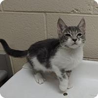 Domestic Shorthair Kitten for adoption in Apple Valley, California - Pauline #157646