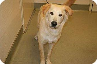 Shepherd (Unknown Type)/Labrador Retriever Mix Dog for adoption in Wildomar, California - Owen