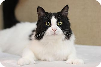 Domestic Longhair Cat for adoption in Midland, Michigan - Crunch