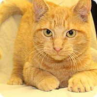 Domestic Shorthair Kitten for adoption in Waynesboro, Pennsylvania - Mongo