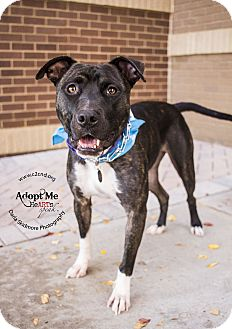 Pit Bull Terrier/Boxer Mix Dog for adoption in Mooresville, North Carolina - Zado