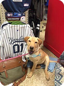 Shar Pei/Labrador Retriever Mix Dog for adoption in Poughkeepsie, New York - Gretal