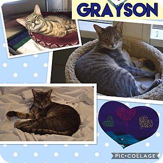 Domestic Shorthair Kitten for adoption in Keller, Texas - Grayson