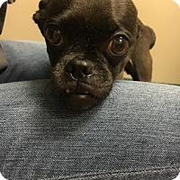 Adopt A Pet :: Pug - Philadelphia, PA